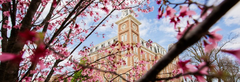 Cherry tree in front of Old Main